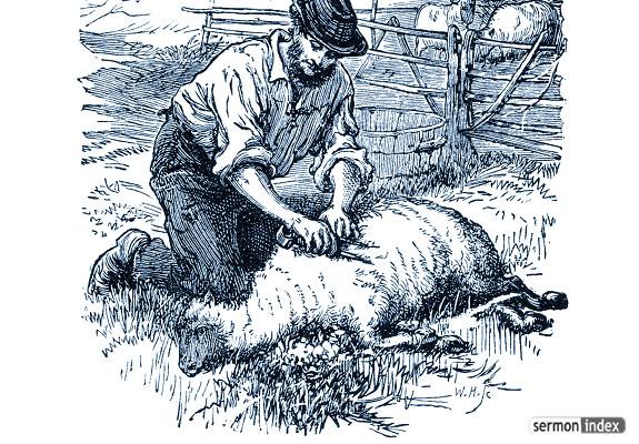 sheep being shorn
